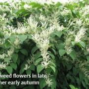 Fallopia japonica-flowering