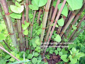 Japanese knotweed-red stems