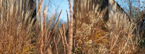Winter scene of seed heads and grasses. Veronicastrum virginicum, Sanguisorba 'Red Thunder', Selinum and Miscanthus 'Kleine Silberspinne'